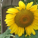 sunflower for blog